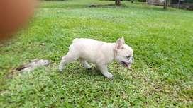 Bulldog blue fauwn merle