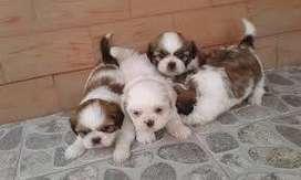 maravillosos cachorros shitzu mini