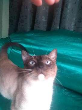 Vendo Gato Siames