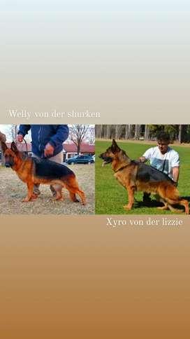 Ovejeros Alemanes con pedigree
