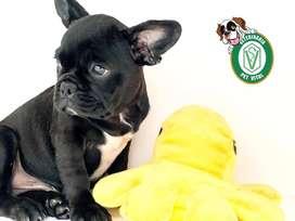 Bulldog Frances cachorros legítimos en Pet Vital