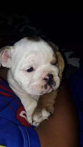 Cachorra bulldog Inglés 44 días de nacida desparacitada