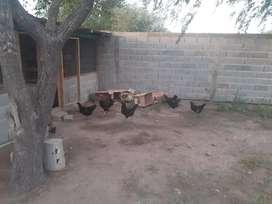 Vendo 9 gallinas negras un gallo 20 pollitos y 7 pollas