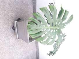 Planta costilla de Adam