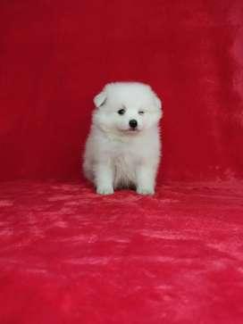 Pomeranias blancos con 45 días de nacidos