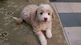 Perro caniche toy beige