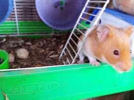Hamsters angoras o americanos