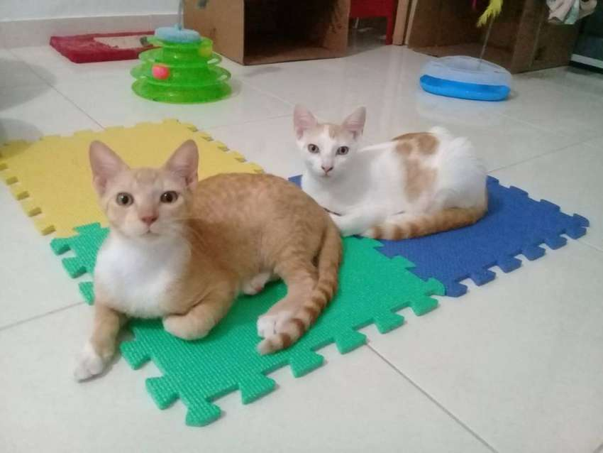 Gatitos hermanos en adopción responsable 0