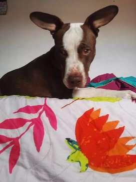 Se da en adopción hermosa pitbull