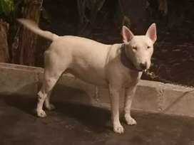Busco bull terrier macho