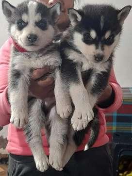Hermosos caninos manto negros ojitos azules de 49 días
