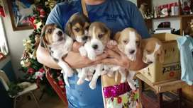 Cachorros beagles de 45 días vacunados