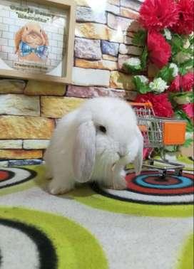 conejito mini lop blanco macho