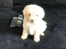 Vendo cachorro de Maltes mini. Macho