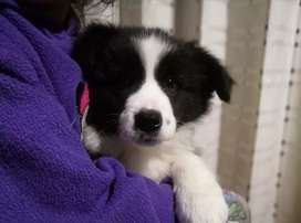 Cachorro, hembra border collie pedigrí