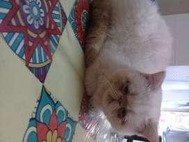 Busco gato persa macho para servicio!!!