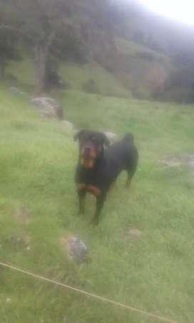 Rottweiler hembra busca macho para monta
