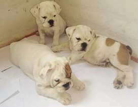 Lindos cachorros bulldog ingles