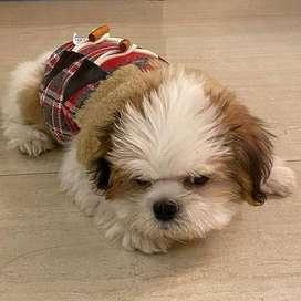 shitzu bellos perritos caninos 55 dias