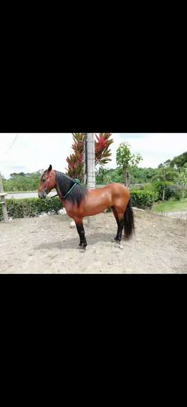 Se vende caballo entero trochador muy sabroso y brioso