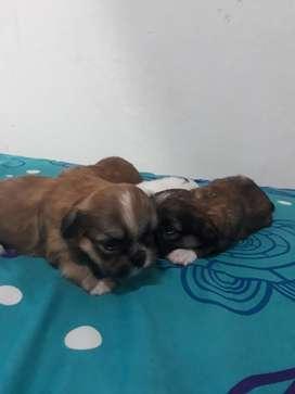 Cachorros Shizus Información 3175808989