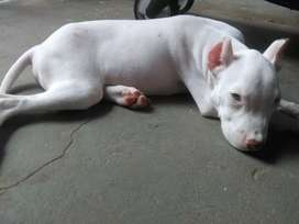 Pitbull red nouse 3 meces 200$