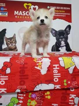 Lindisimos cachorrito pomsky siberianos ojos azules