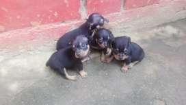 Se venden cachorros Pincher Tradicional