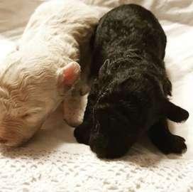 Poodle's Mini Negro Padres importados
