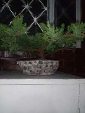 Vendo hermosos bonsai pino guayacan