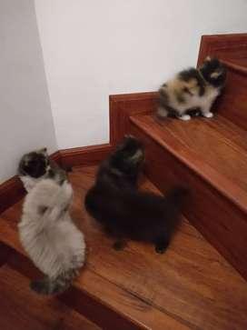 Gatos persa extremo