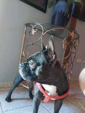 Busco novio Boston Terrier