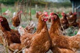 Venta de lote de gallinas ponedoras