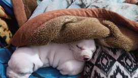 Cachorro american  bully bulldog ingles frances