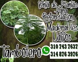 PLANTAS REFORESTACION TAMBOLERO ARBOL NATIVO