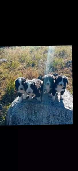 Border collie xx cachorros originales45 dias