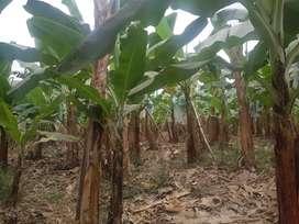Venta de Bananera en Mocache Provincia de Los Ríos