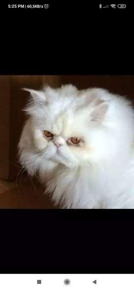Monta de gato exotico