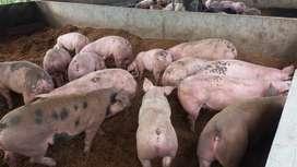 Cerdos en pie