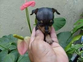 Cachorros hermosos pincher miniaturas macho y hembra