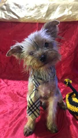 Cachorro Yorkshire Terrier Macho
