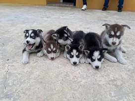 Dinámicos huskies siberian bien Sanitos