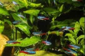 peces pack amazonicos (2 discos y 25 neones)=80 soles