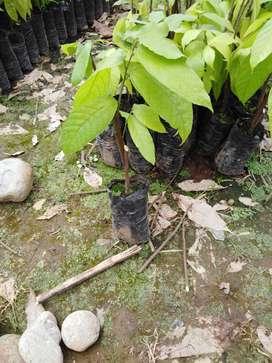 Vivero de cacao Chamorro