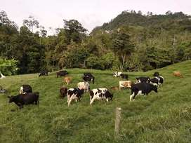 Venta de vacas, ganado tipo leche