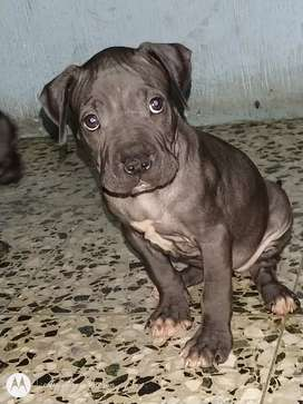 Cachorrs pitbulls