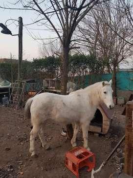 Vendo caballos petiso ¡!¡