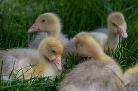 Se vende pato-ganso