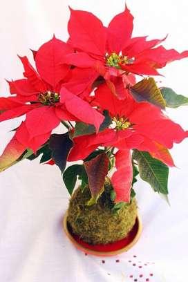 Planta Cardenal, Flor De Pacua, Estrella De Navidad, flor de noche buena,