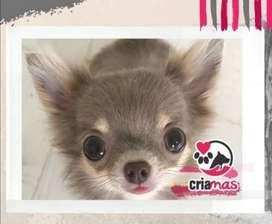 Hermosos Chihuahuas CRIAMAS AMOR